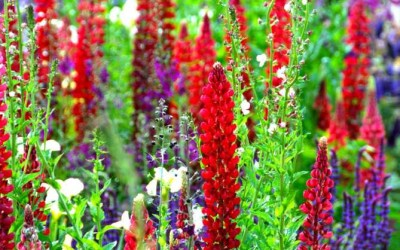 Think Blue - Bloom 2011 - lupins