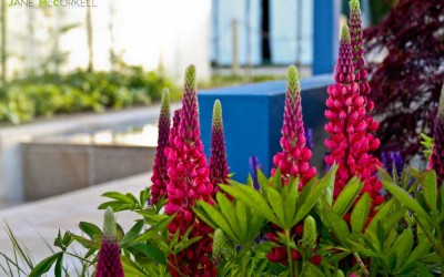 Think Blue - Bloom 2011- lupins close up